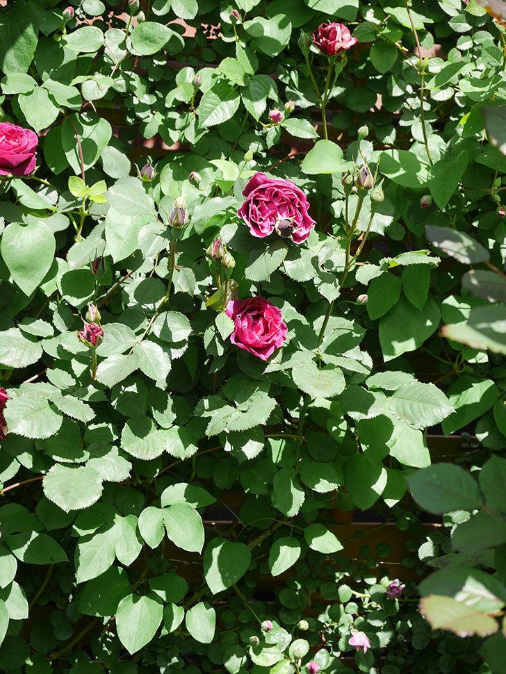 オデュッセイア(Odysseia)の花が咲いた。半ツルバラ。2021年-022.jpg