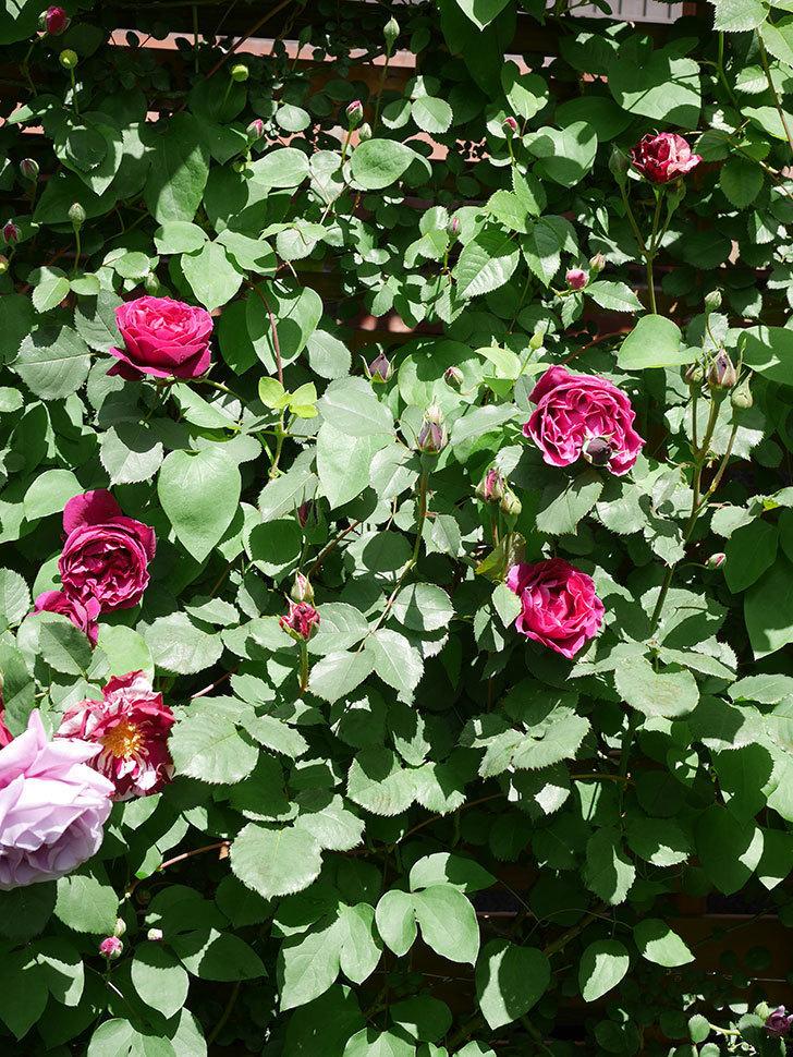 オデュッセイア(Odysseia)の花が咲いた。半ツルバラ。2021年-023.jpg