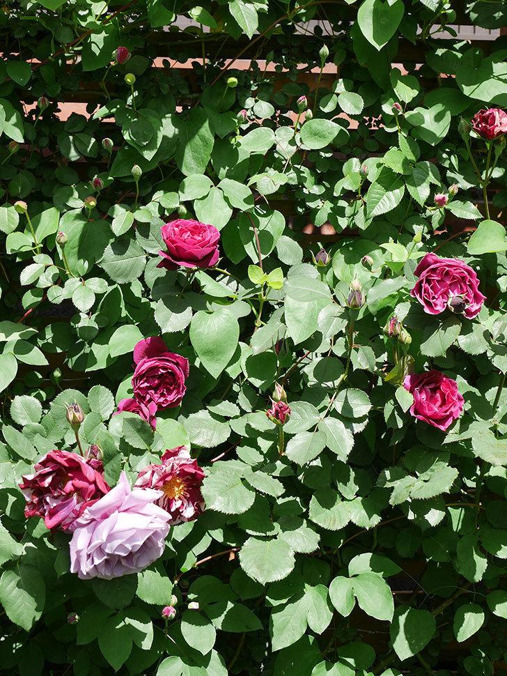 オデュッセイア(Odysseia)の花が咲いた。半ツルバラ。2021年-024.jpg