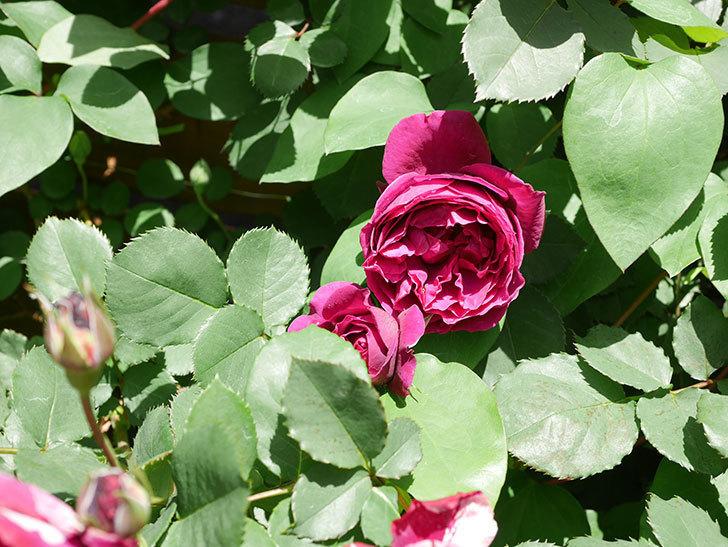 オデュッセイア(Odysseia)の花が咲いた。半ツルバラ。2021年-025.jpg