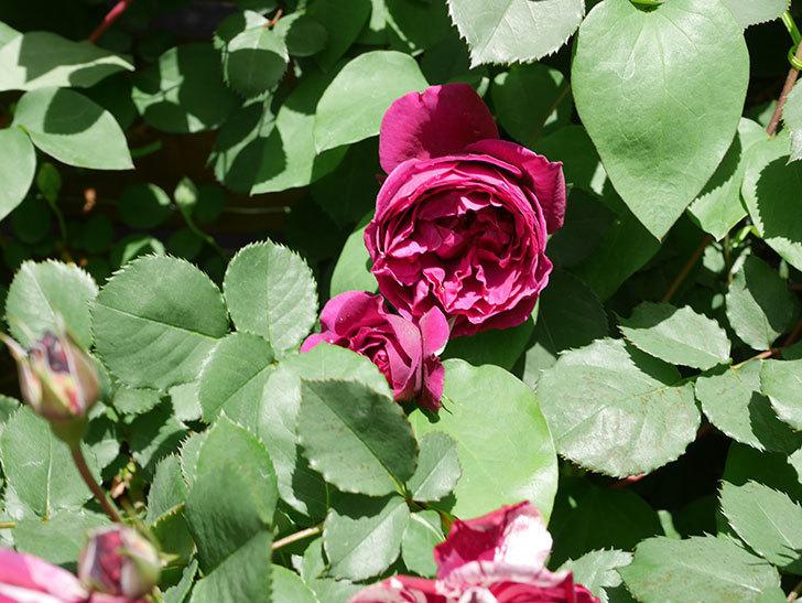 オデュッセイア(Odysseia)の花が咲いた。半ツルバラ。2021年-026.jpg