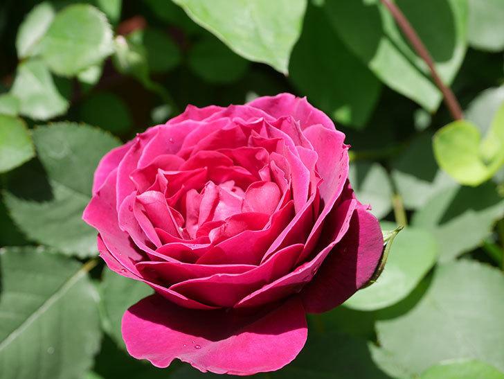 オデュッセイア(Odysseia)の花が咲いた。半ツルバラ。2021年-027.jpg