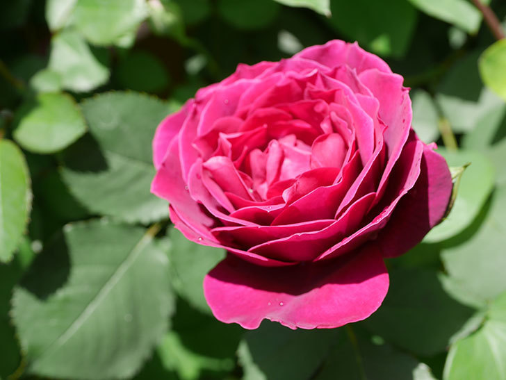 オデュッセイア(Odysseia)の花が咲いた。半ツルバラ。2021年-028.jpg