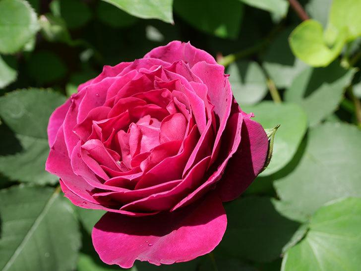 オデュッセイア(Odysseia)の花が咲いた。半ツルバラ。2021年-029.jpg