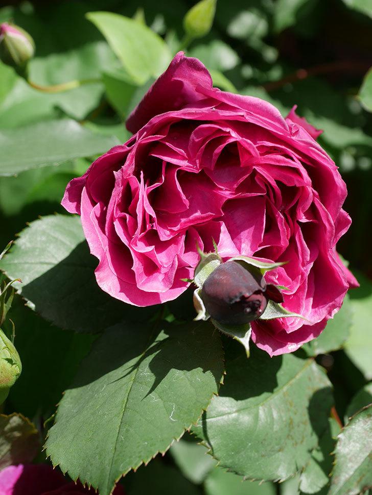 オデュッセイア(Odysseia)の花が咲いた。半ツルバラ。2021年-030.jpg
