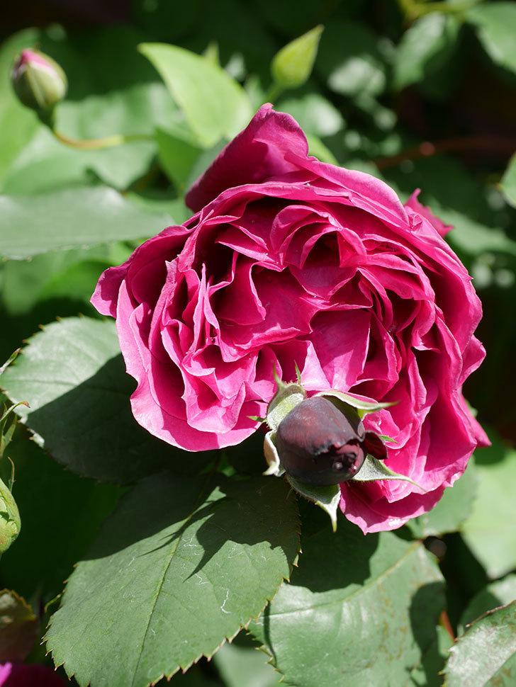 オデュッセイア(Odysseia)の花が咲いた。半ツルバラ。2021年-031.jpg