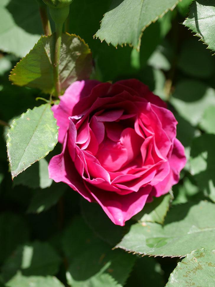 オデュッセイア(Odysseia)の花が咲いた。半ツルバラ。2021年-033.jpg