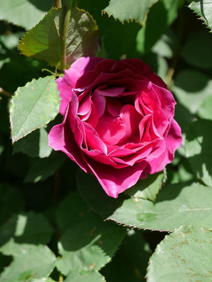 オデュッセイア(Odysseia)の花が咲いた。半ツルバラ。2021年-034.jpg
