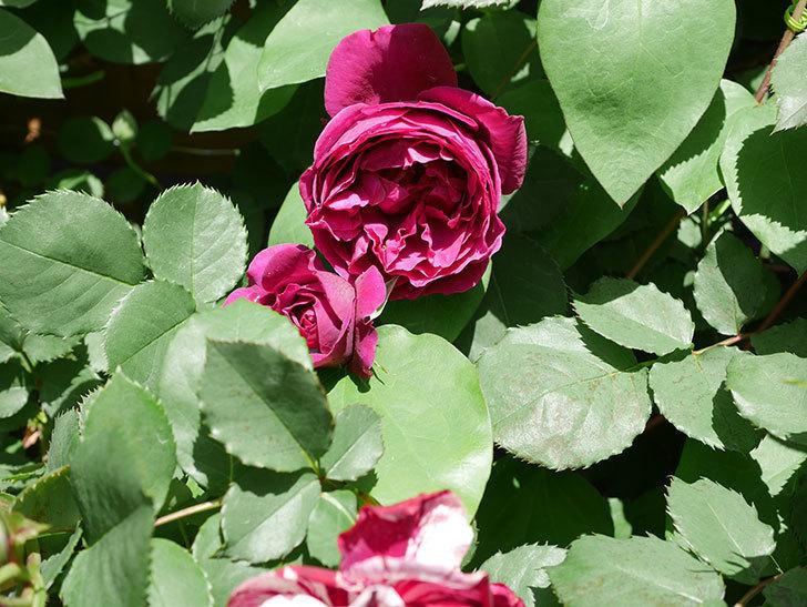 オデュッセイア(Odysseia)の花が咲いた。半ツルバラ。2021年-036.jpg