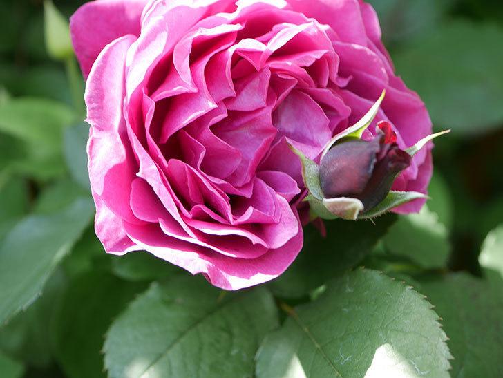 オデュッセイア(Odysseia)の花が咲いた。半ツルバラ。2021年-038.jpg