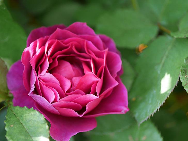 オデュッセイア(Odysseia)の花が咲いた。半ツルバラ。2021年-039.jpg