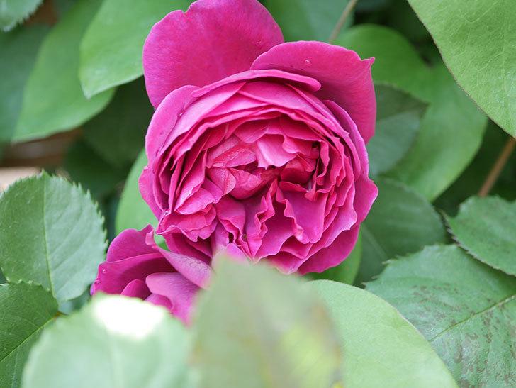 オデュッセイア(Odysseia)の花が咲いた。半ツルバラ。2021年-041.jpg
