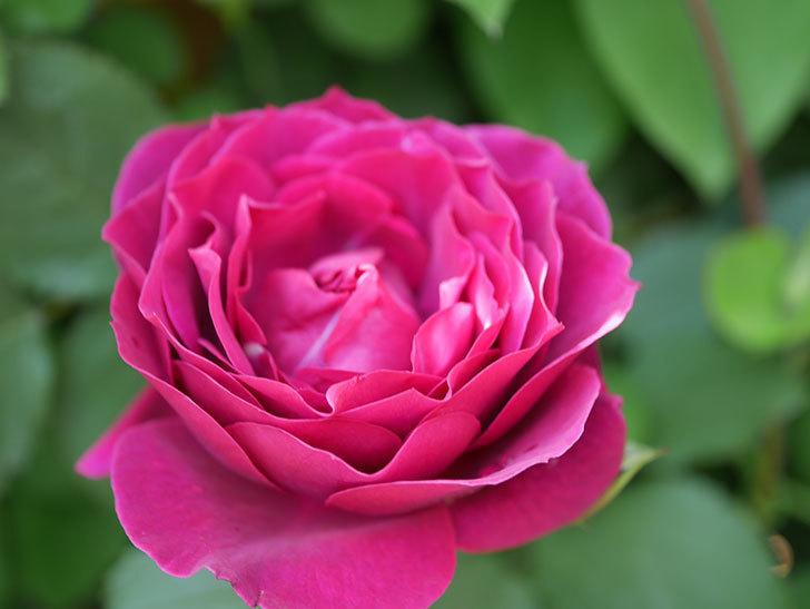 オデュッセイア(Odysseia)の花が咲いた。半ツルバラ。2021年-042.jpg