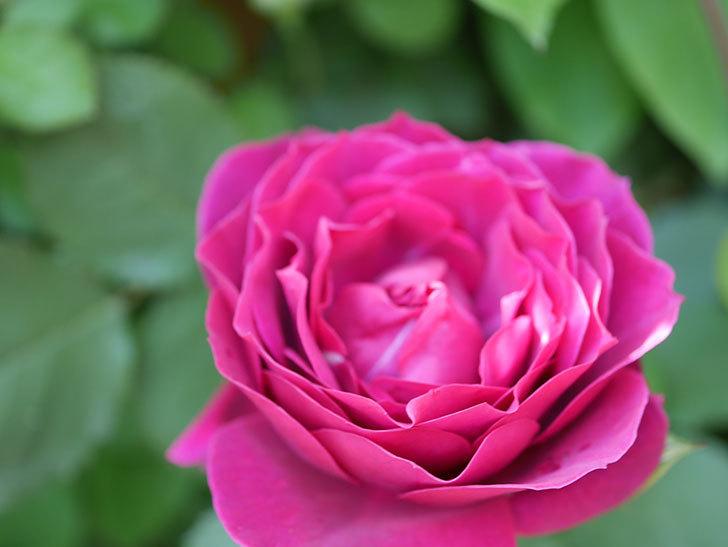 オデュッセイア(Odysseia)の花が咲いた。半ツルバラ。2021年-043.jpg