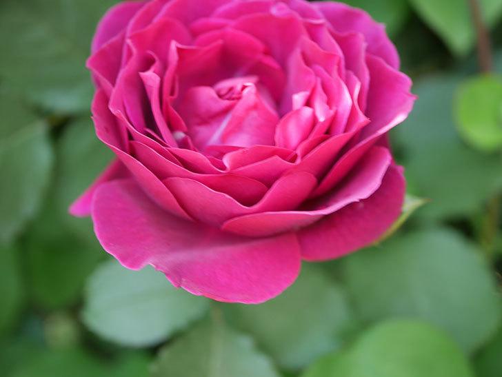 オデュッセイア(Odysseia)の花が咲いた。半ツルバラ。2021年-044.jpg