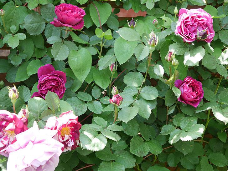 オデュッセイア(Odysseia)の花が咲いた。半ツルバラ。2021年-046.jpg