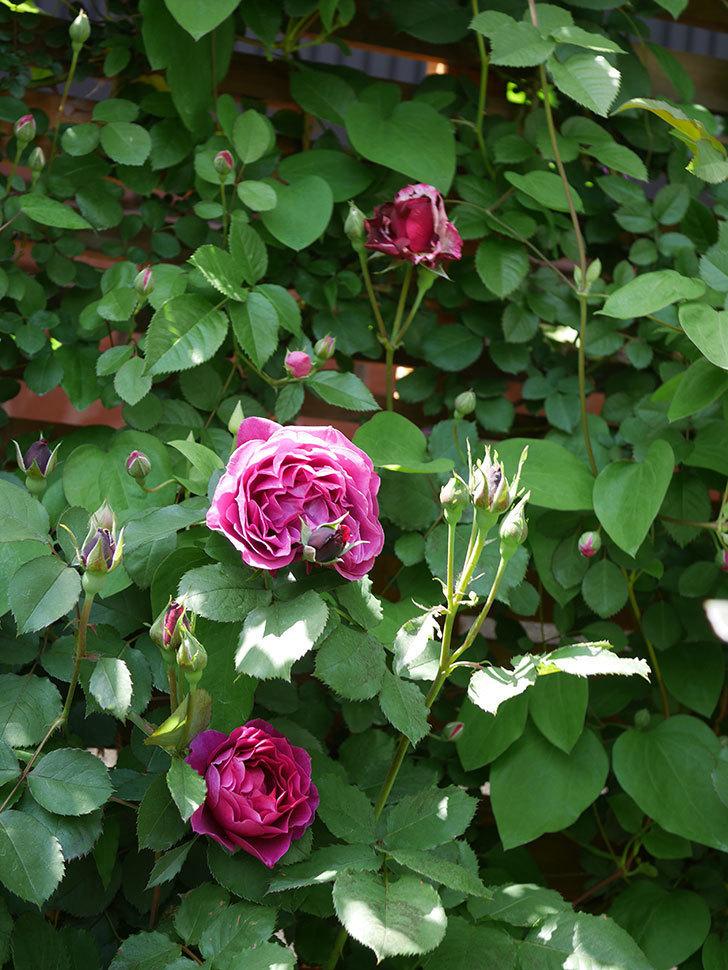 オデュッセイア(Odysseia)の花が咲いた。半ツルバラ。2021年-047.jpg