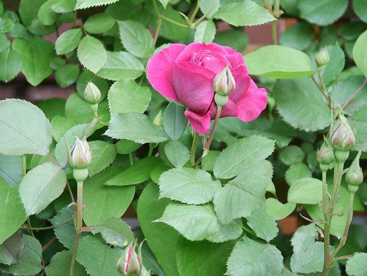 オデュッセイア(Odysseia)の花が咲きだした。半ツルバラ。2021年-001.jpg