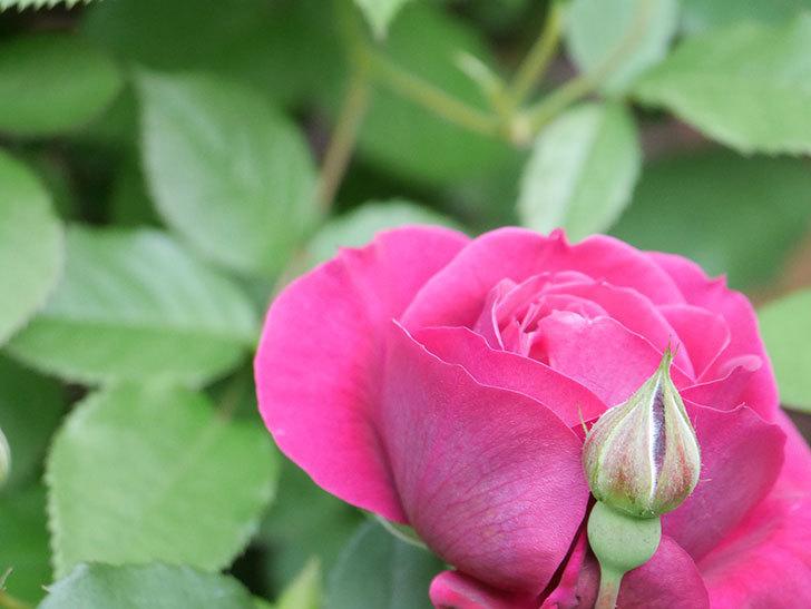 オデュッセイア(Odysseia)の花が咲きだした。半ツルバラ。2021年-003.jpg