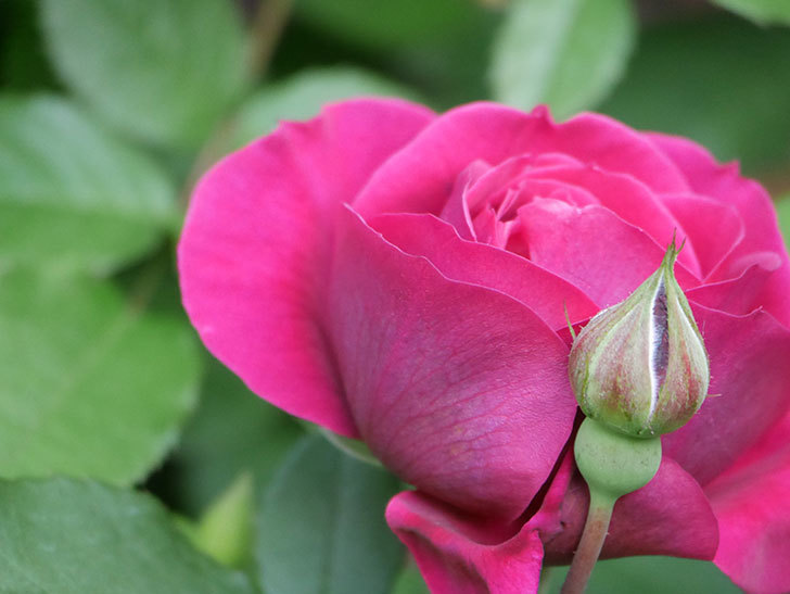 オデュッセイア(Odysseia)の花が咲きだした。半ツルバラ。2021年-004.jpg