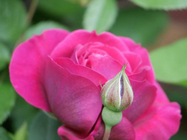 オデュッセイア(Odysseia)の花が咲きだした。半ツルバラ。2021年-005.jpg