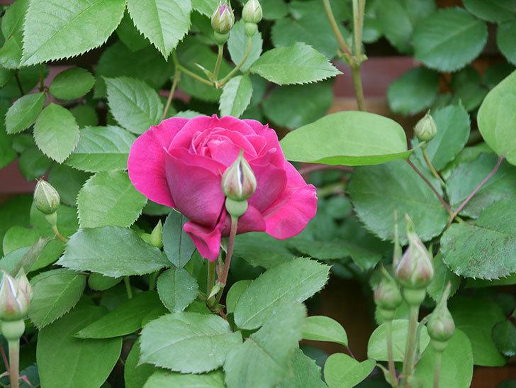 オデュッセイア(Odysseia)の花が咲きだした。半ツルバラ。2021年-006.jpg