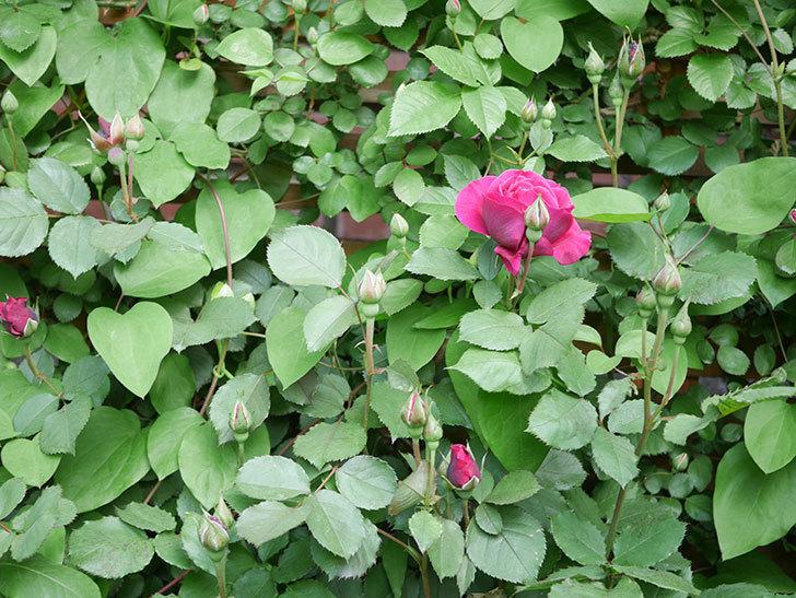 オデュッセイア(Odysseia)の花が咲きだした。半ツルバラ。2021年-009.jpg