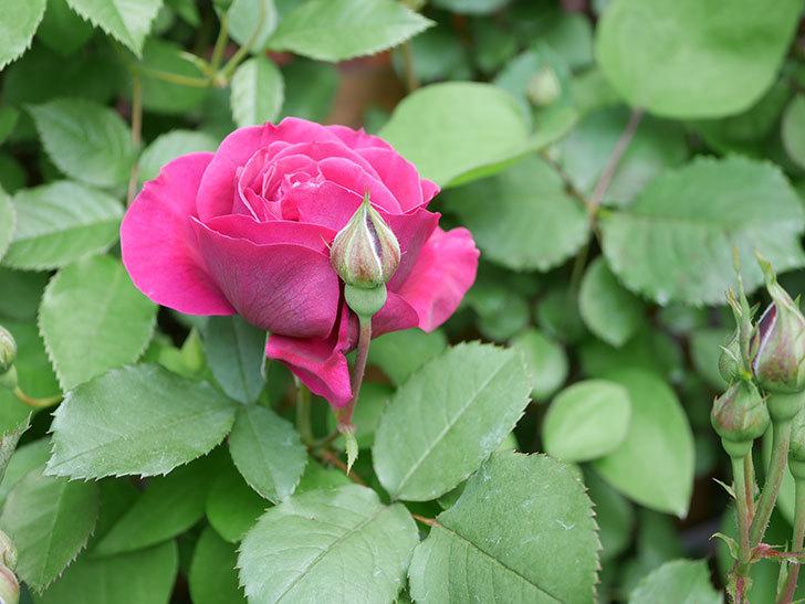 オデュッセイア(Odysseia)の花が咲きだした。半ツルバラ。2021年-010.jpg
