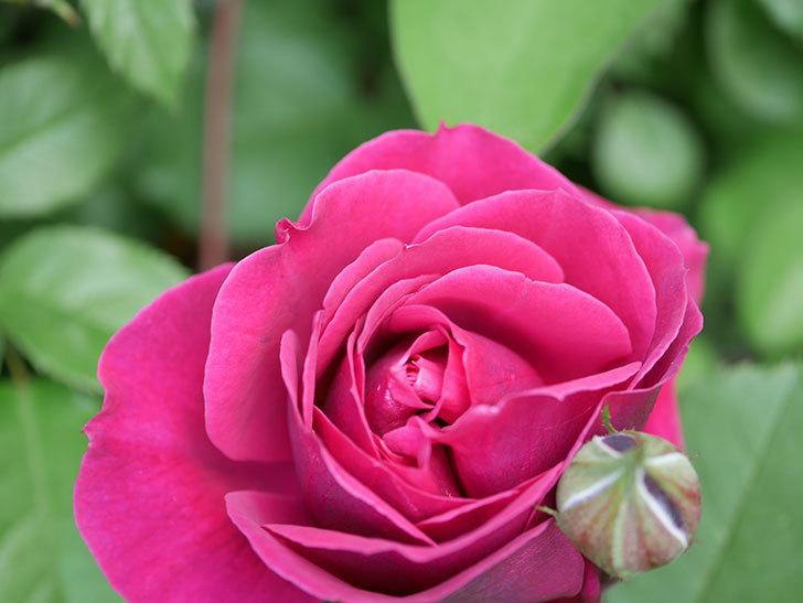オデュッセイア(Odysseia)の花が咲きだした。半ツルバラ。2021年-011.jpg