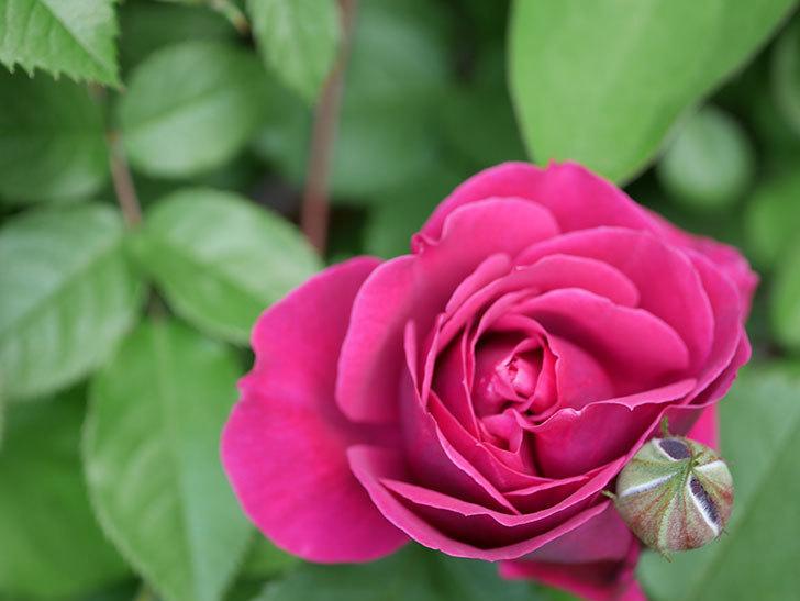 オデュッセイア(Odysseia)の花が咲きだした。半ツルバラ。2021年-012.jpg