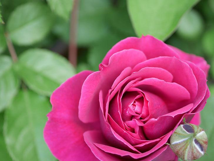 オデュッセイア(Odysseia)の花が咲きだした。半ツルバラ。2021年-013.jpg