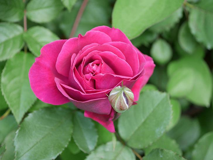 オデュッセイア(Odysseia)の花が咲きだした。半ツルバラ。2021年-015.jpg