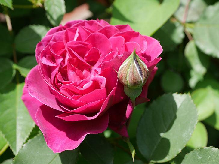 オデュッセイア(Odysseia)の花が咲きだした。半ツルバラ。2021年-016.jpg
