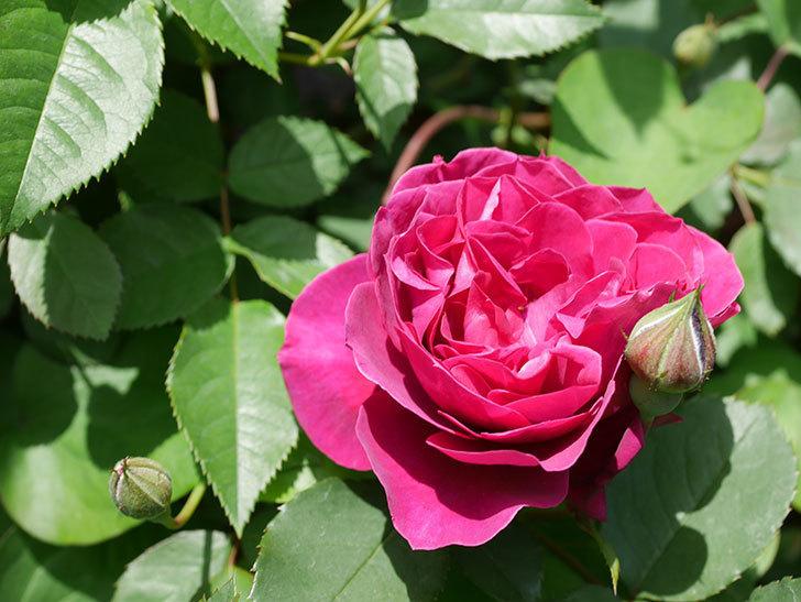オデュッセイア(Odysseia)の花が咲きだした。半ツルバラ。2021年-018.jpg