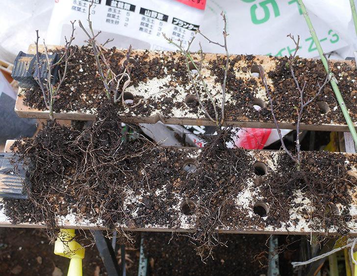 オプティマ-ラブリープリンセス(ミニバラ)2鉢を分割して植え替えた。2020年-1.jpg