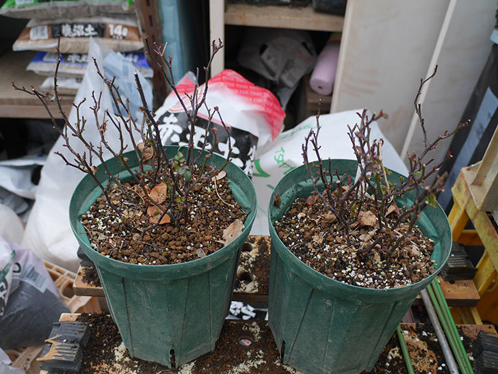 オプティマ-ラブリープリンセス(ミニバラ)2鉢を分割して植え替えた。2020年-2.jpg