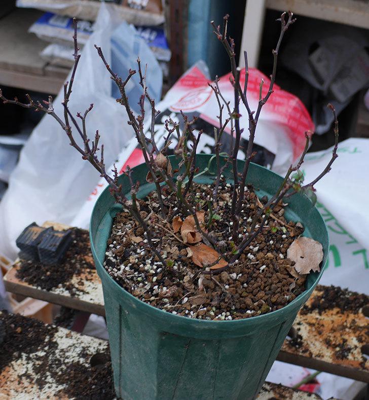 オプティマ-ラブリープリンセス(ミニバラ)2鉢を分割して植え替えた。2020年-5.jpg
