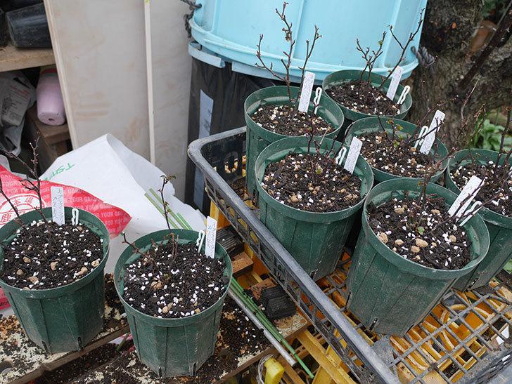 オプティマ-ラブリープリンセス(ミニバラ)2鉢を分割して植え替えた。2020年-8.jpg
