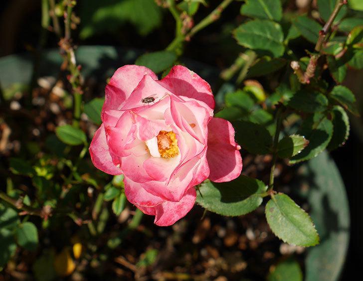 オプティマ-ラブリープリンセス(ミニバラ)の秋花が咲いた。2019年-2.jpg