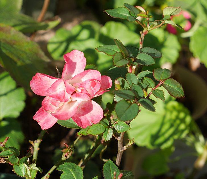 オプティマ-ラブリープリンセス(ミニバラ)の秋花が咲いた。2019年-3.jpg