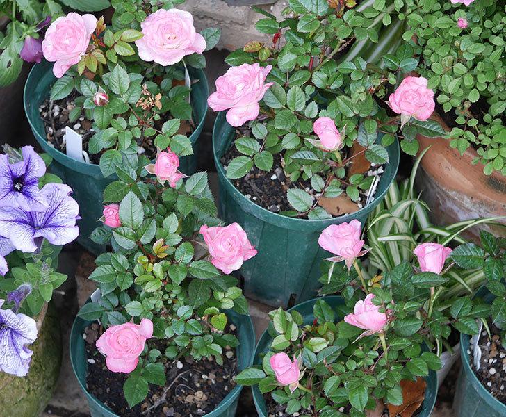 オプティマ-ラブリープリンセス(ミニバラ)の花がたくさん咲いた。2020年-1.jpg