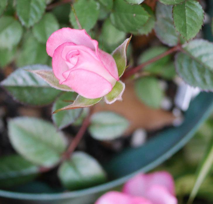 オプティマ-ラブリープリンセス(ミニバラ)の花がたくさん咲いた。2020年-4.jpg
