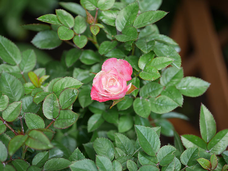オプティマ-ラブリープリンセス(ミニバラ)の花が咲いた。2019年-6.jpg