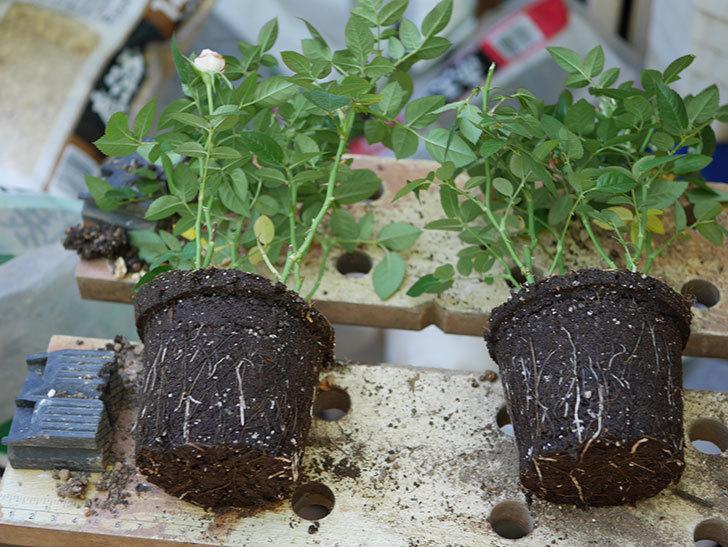 オプティマ-ラブリープリンセス(ミニバラ)を5号ロングスリット鉢に植え替えた。2019年-1.jpg