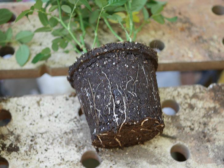 オプティマ-ラブリープリンセス(ミニバラ)を5号ロングスリット鉢に植え替えた。2019年-3.jpg
