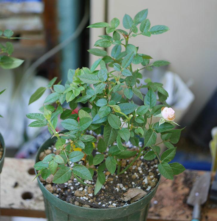 オプティマ-ラブリープリンセス(ミニバラ)を5号ロングスリット鉢に植え替えた。2019年-4.jpg