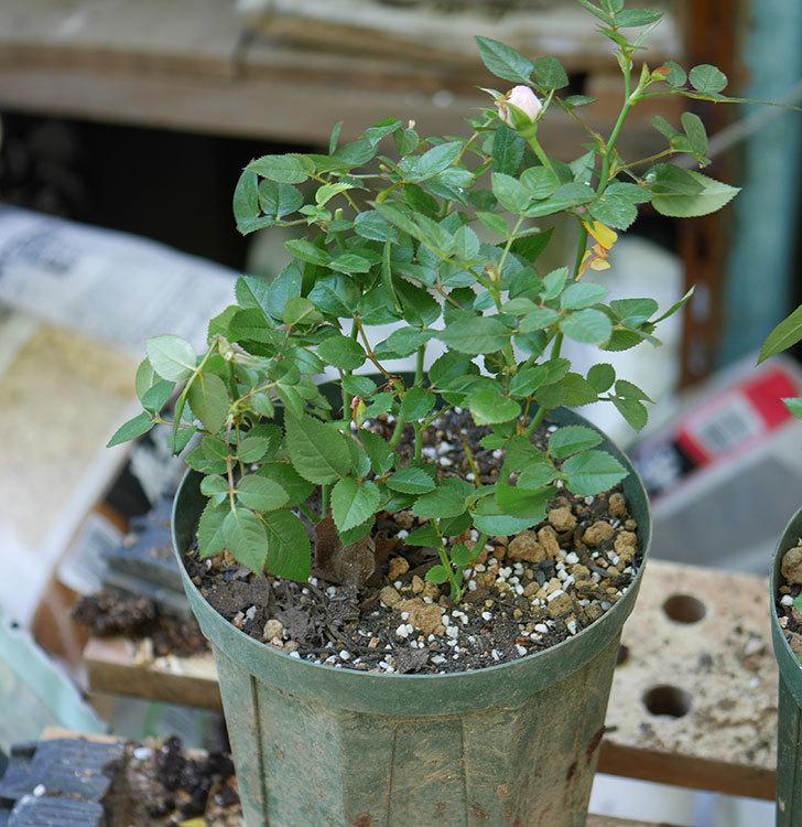 オプティマ-ラブリープリンセス(ミニバラ)を5号ロングスリット鉢に植え替えた。2019年-5.jpg