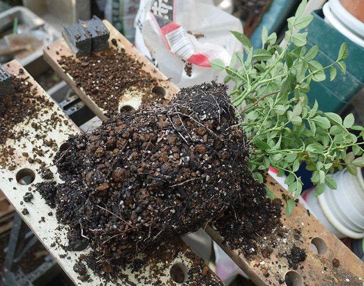 オプティマ-ラブリープリンセス(ミニバラ)を6号ロングスリット鉢に鉢増しした。2019年-1.jpg