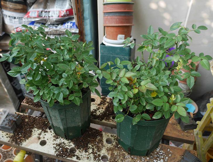 オプティマ-ラブリープリンセス(ミニバラ)を6号ロングスリット鉢に鉢増しした。2019年-2.jpg