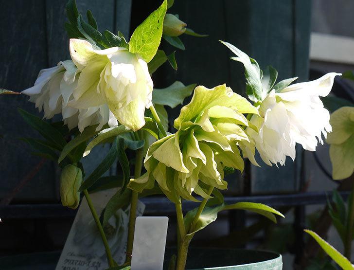 オリエンタリス-ホワイトのダブルの花がたくさん咲いた。2017年-1.jpg